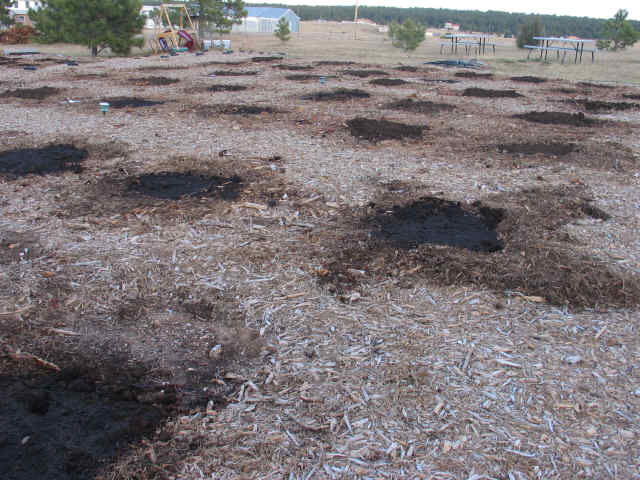 dormant rhubarb plants covered in compost for winter