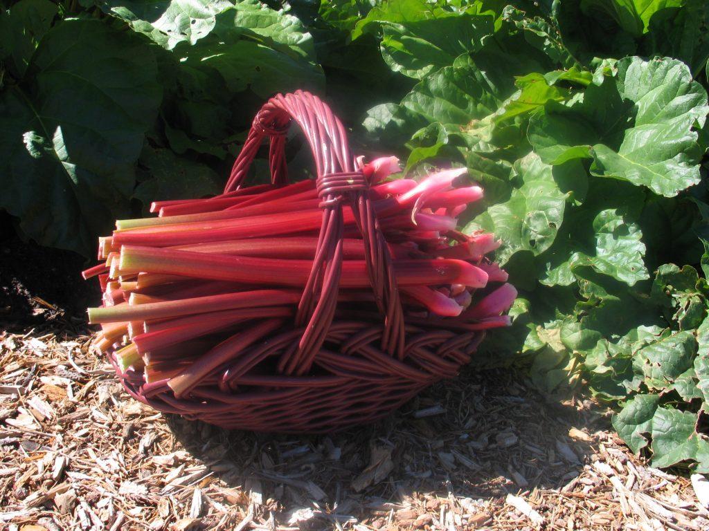 Colorado Red rhubarb in a basket