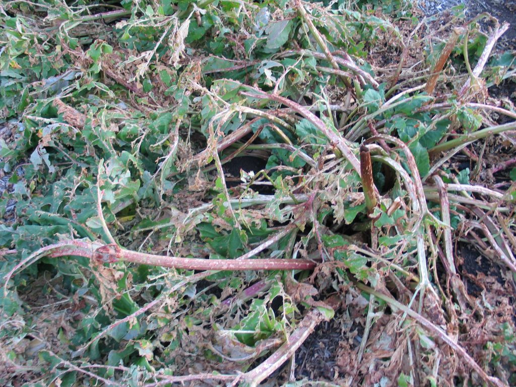 hail damage to rhubarb