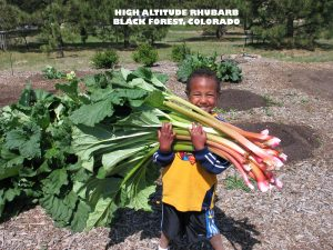 Young man with armload of giant Victoria rhubarb