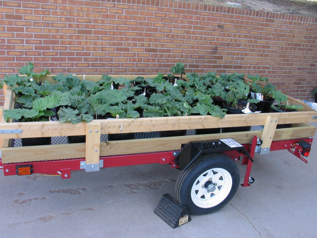 potted rhubarb plants in a trailer