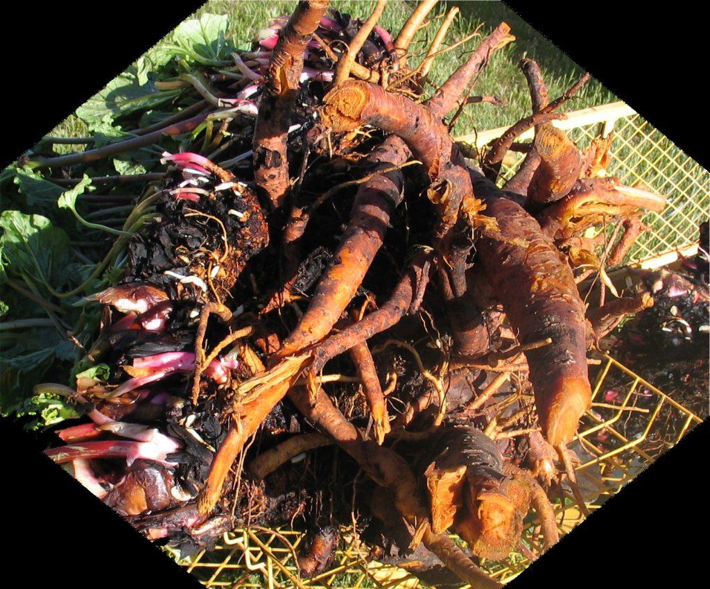 3-year rhubarb root mass