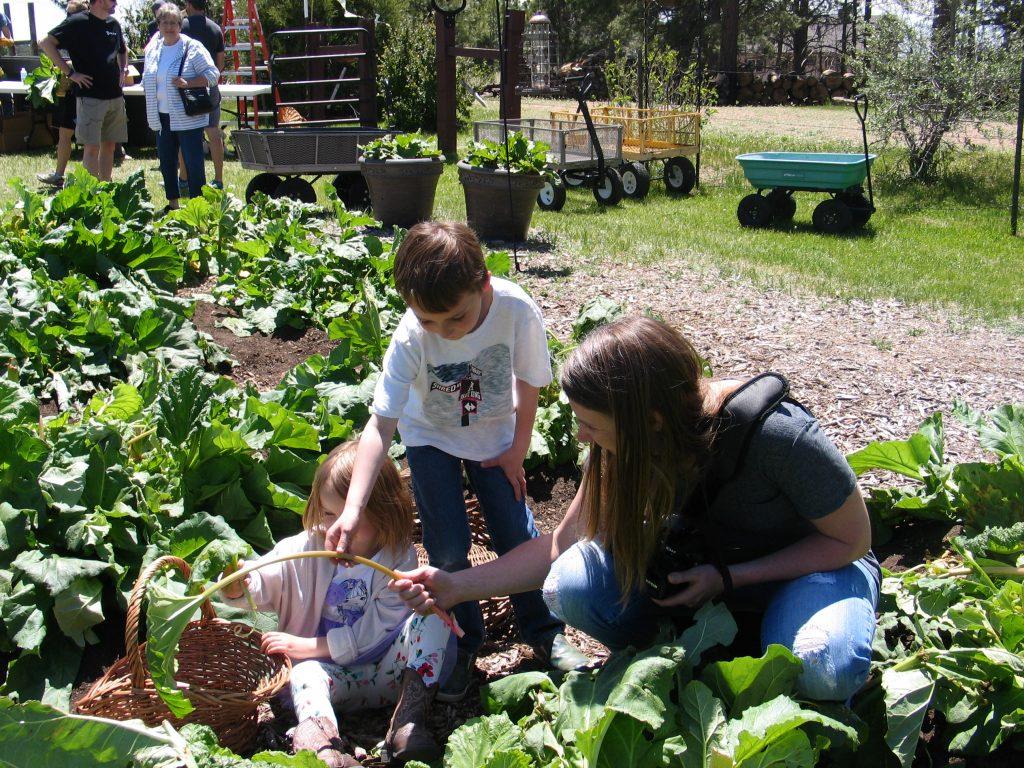 children having fun picking rhubarb