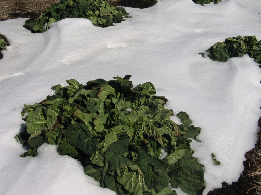 rhubarb plant in the snow