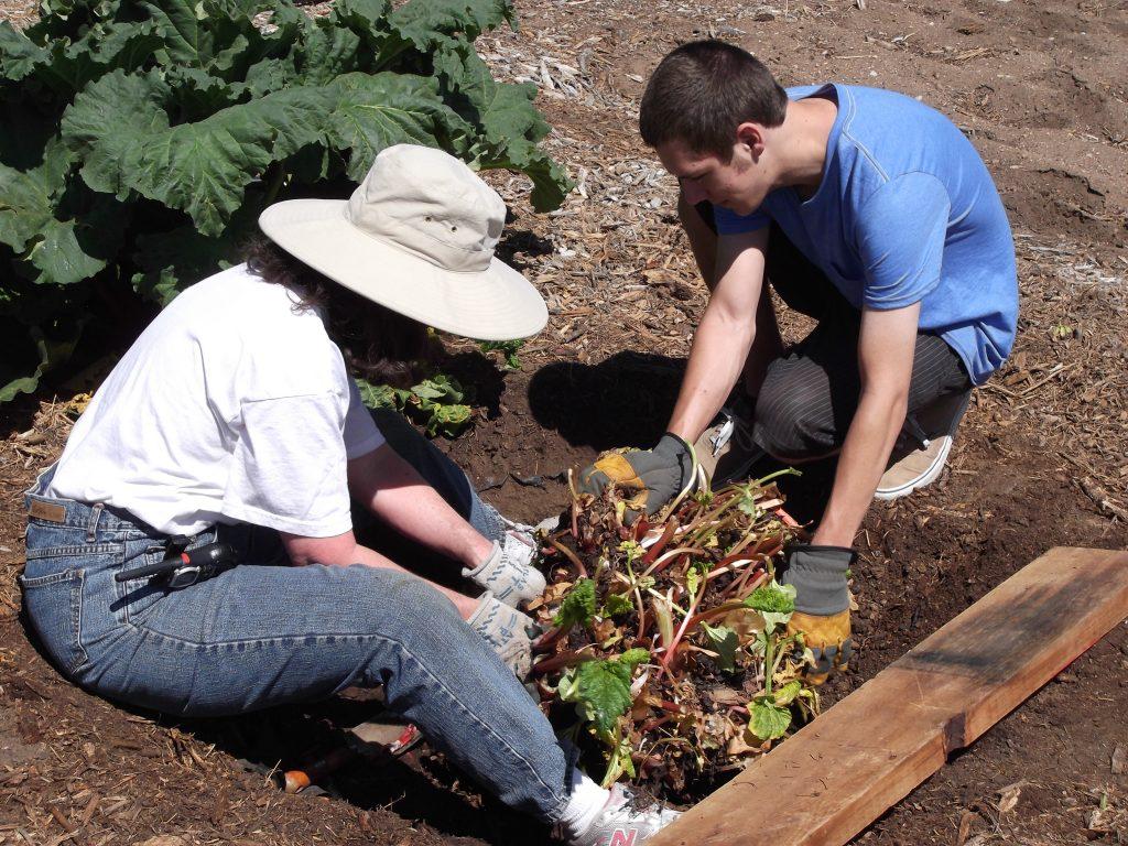 digging rhubarb root ball