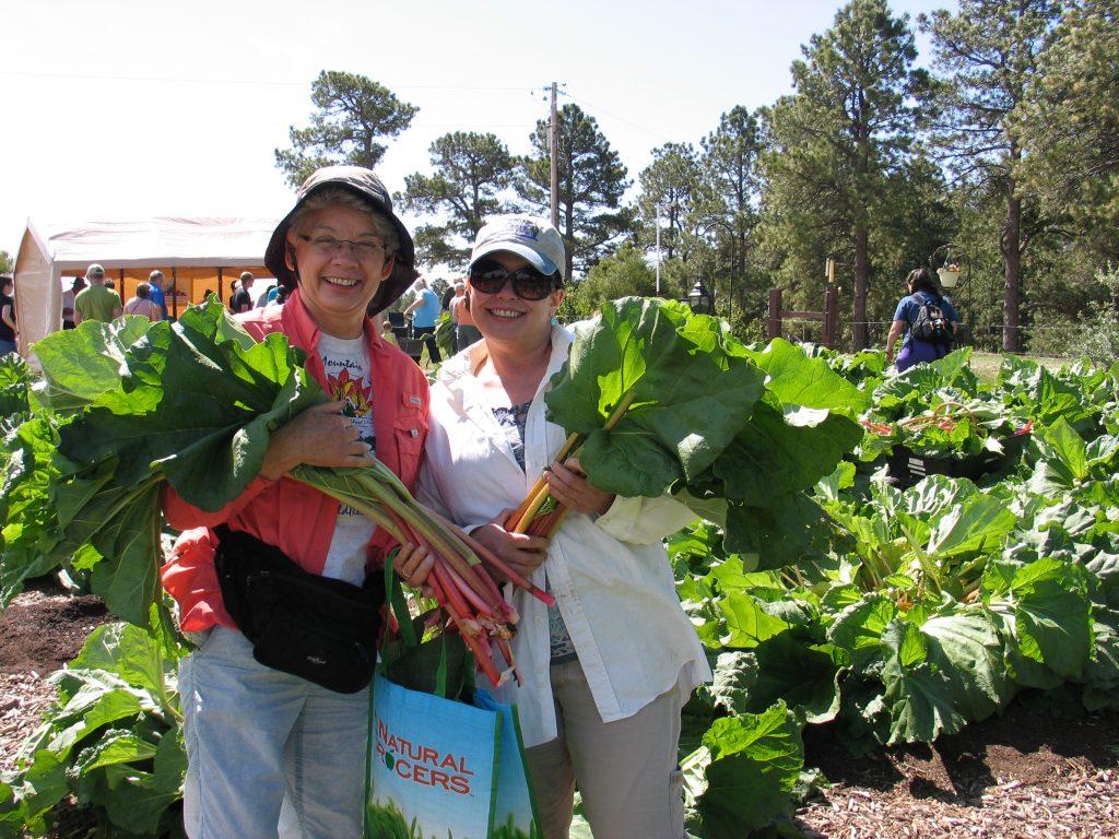 picking Victoria rhubarb at the Rhubarb Harvest Festival