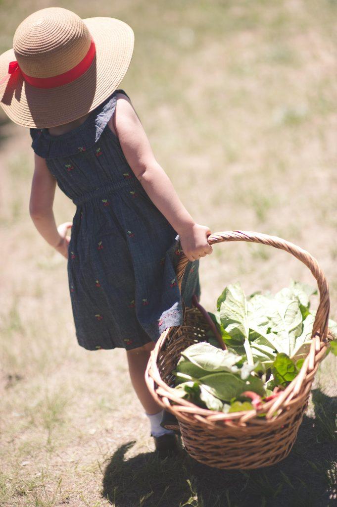 picking rhubarb in basket at the Rhubarb Harvest Festival