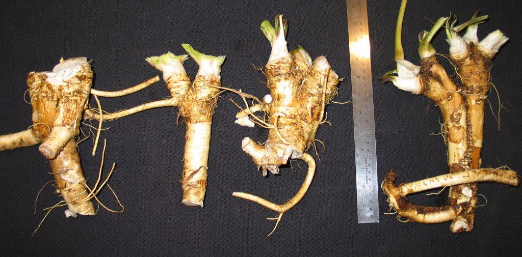 heirloom horseradish roots