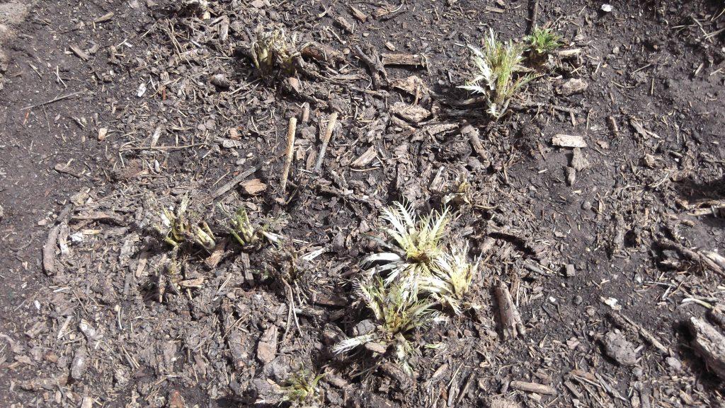 newly emerged horseradish plants