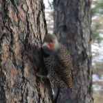 red-shafted flicker woodpecker