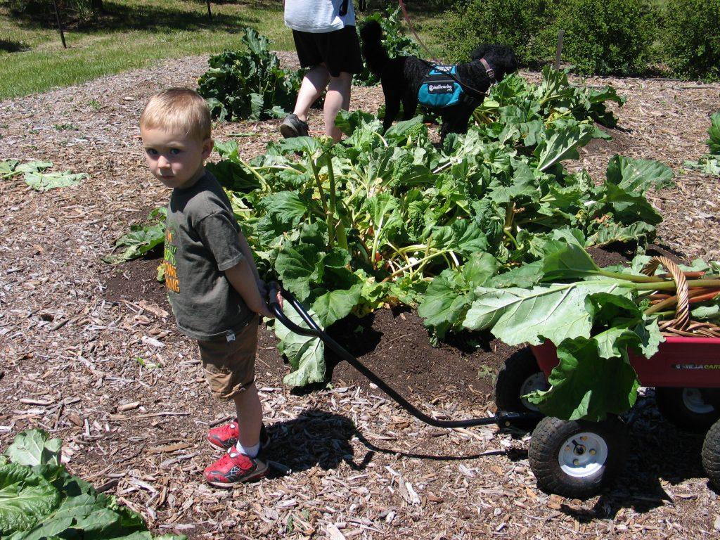 child pulling wagon full of rhubarb